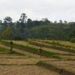Bij het dorp Jatiluwih liggen de mooiste rijstvelden van Indonesië.