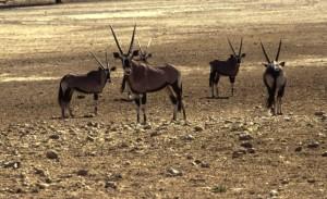 Namibie- Zuid Afrika, 1992 We maken nogmaals een wandeling. In de verte zien we onze eerste oryx.