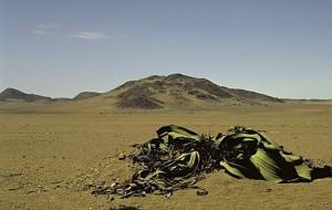 Welwitschia mirabilis 003