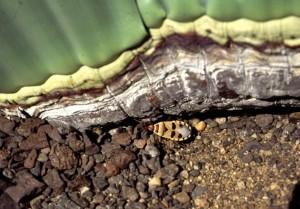 Welwitschia mirabilis 006