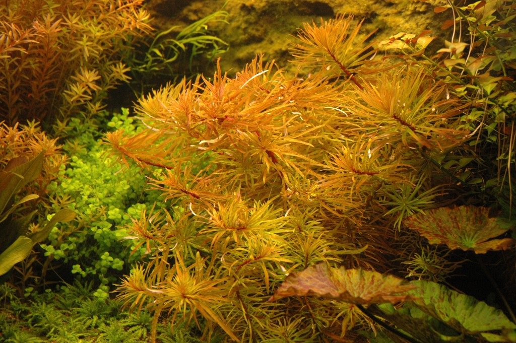 Ludwigia inclinata verticillata 'cuba', zoals ik deze in 2008 in mijn aquarium had staan.