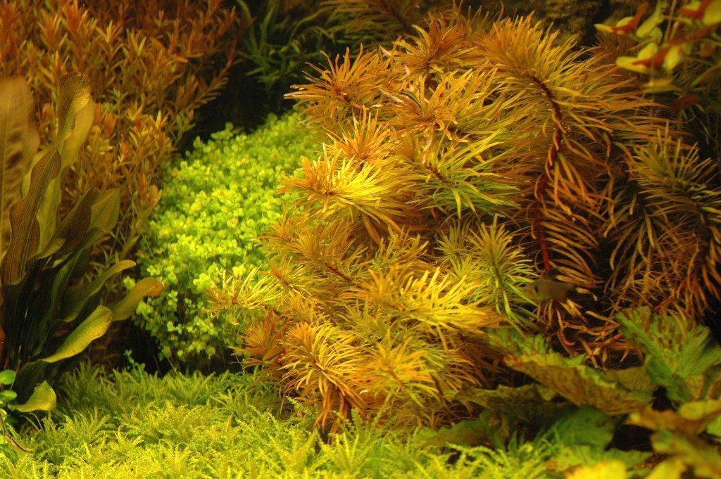 Ludwigia inclinata verticillata 'cuba', zoals ik deze in mijn aquarium had staan.