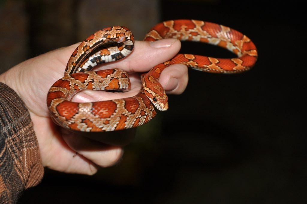 In de tijd dat ik actief terrariumhouder was kweekte ik regelmatig met diverse soorten slangen. Hier: Pantherophis guttatus, een rode rattenslang.